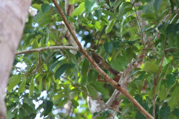 Tangara des palmiers  - Aurélien Pierre