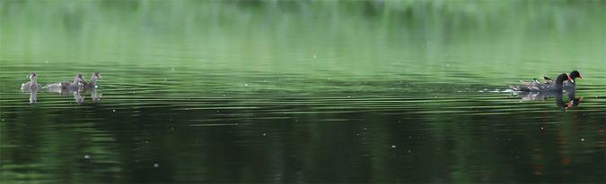 Gallinule d'Amérique  - Marine Perrier