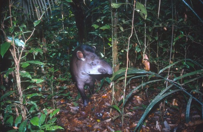Tapir commun  - Vincent Rufray