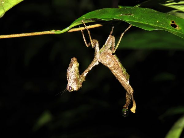 Plesiacanthops tuberculata  - Hugo Foxonet (biotope Agence Amazonie)