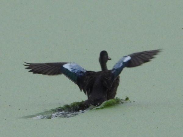 Sarcelle à ailes bleues  - Grégory Cantaloube