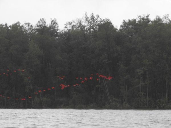 Ibis rouge  - Armand Ziller