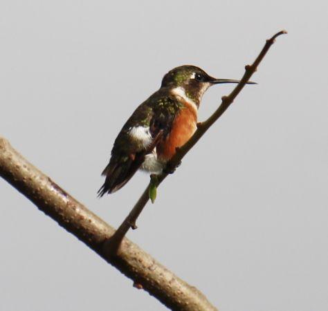 Colibri améthyste  - Magali Portal