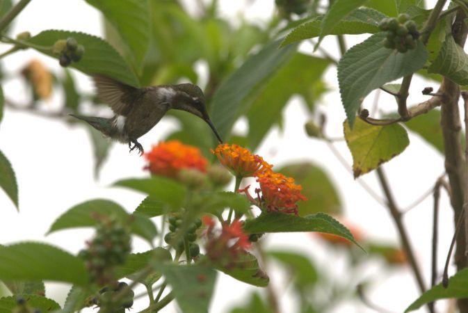 Colibri améthyste  - Thibaut Ferrieux