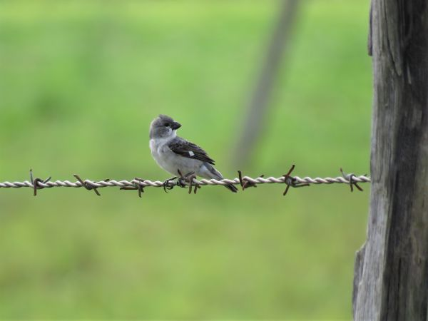 Sporophile gris-de-plomb  - Hugo Foxonet (biotope Agence Amazonie)