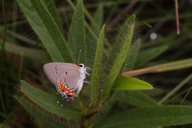 Lycaenidae indéterminé  - Nino Page