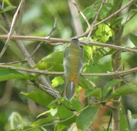 Colibri guaïnumbi  - Grégory Cantaloube