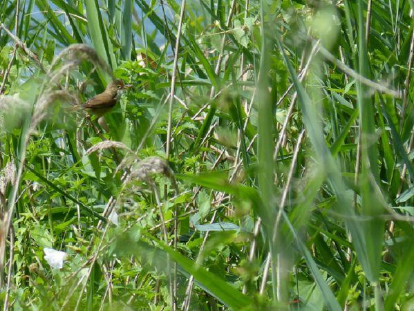 Rousserolle verderolle  - Pascal/sylvie Le Guen/ruffin