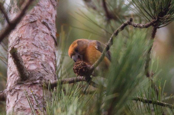 Bec-croisé perroquet  - Thibaut Chansac