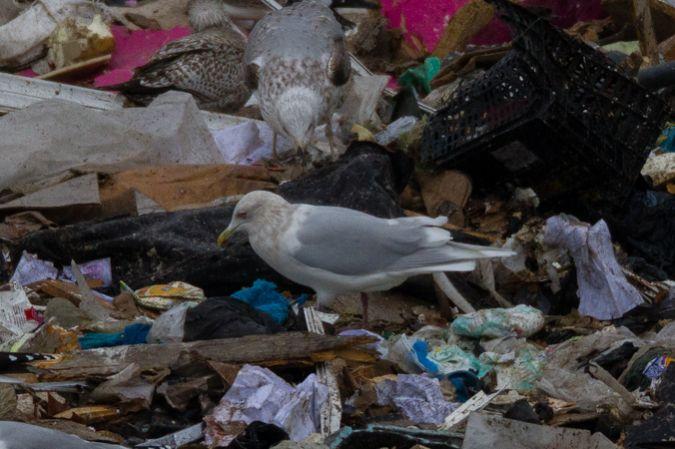 Goéland à ailes blanches  - Thibaut Chansac