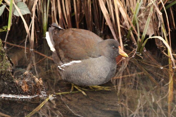 Gallinule poule-d'eau  - Solen Boivin