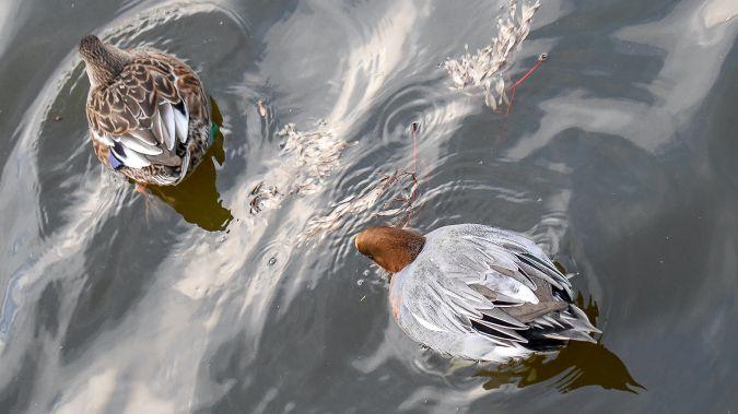 Canard siffleur  - Martine de Lajudie