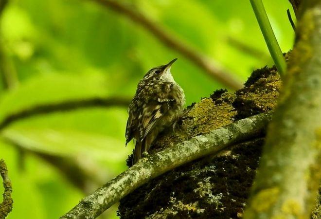 Grimpereau des jardins  - Yves Marchand