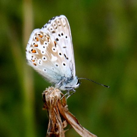 Bleu-nacré (Argus bleu-nacré)  - Guy Savornin