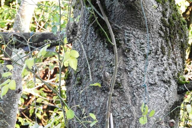 Grimpereau des jardins  - Christian Lefevre
