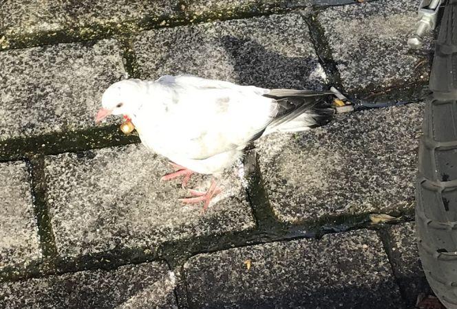 Pigeon biset domestique  - Anonyme