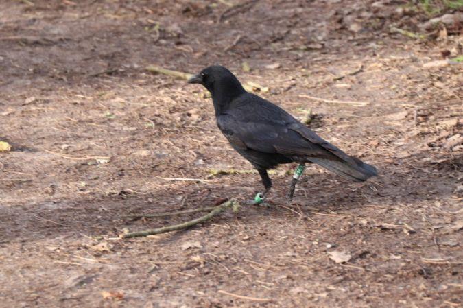 Corneille noire  - Sylviane B.