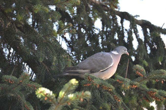 Pigeon ramier  - Guy Destré
