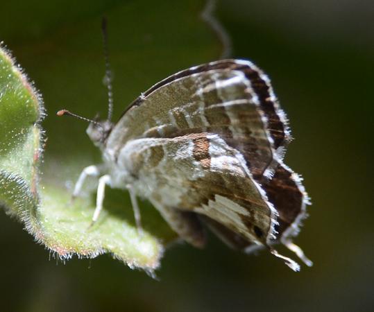 Brun des pélargoniums  - Michel Colombe