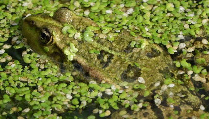 Grenouille verte indéterminée (Pelophylax sp.)  - Bernard Varesi