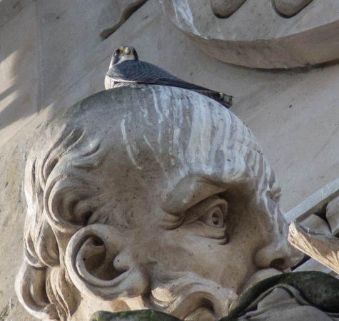 Faucon pèlerin  - Picard Gregory