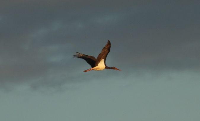 Cigogne noire  - Yves Marchand