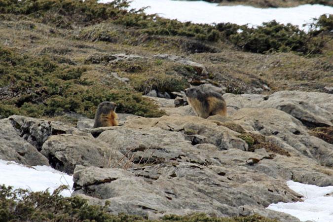 Marmotte des Alpes  - Françoise Ledru
