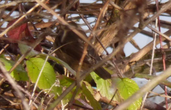 Pouillot brun  - Paul de Ferrière