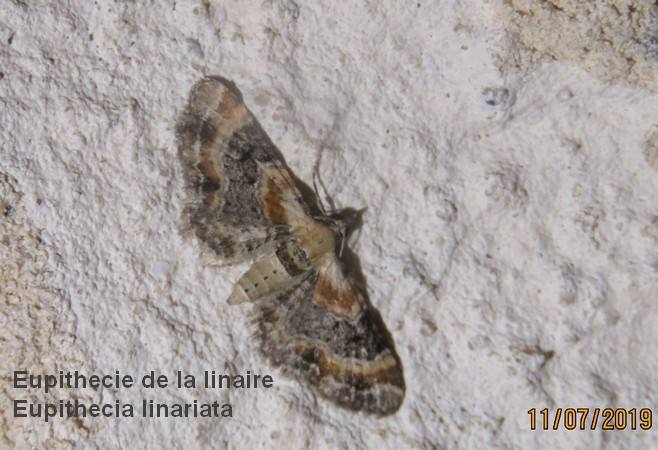 Eupithecia linariata  - Georges Laurencin