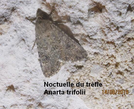 Noctuelle de l'ansérine  - Georges Laurencin