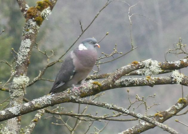 Pigeon ramier  - Laurent Puch