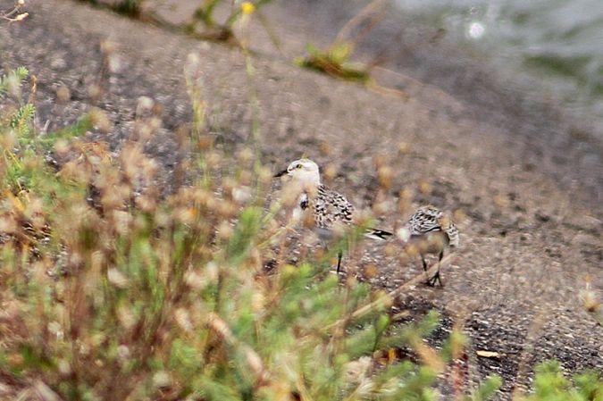 Bécasseau sanderling  - Vincent Palomares