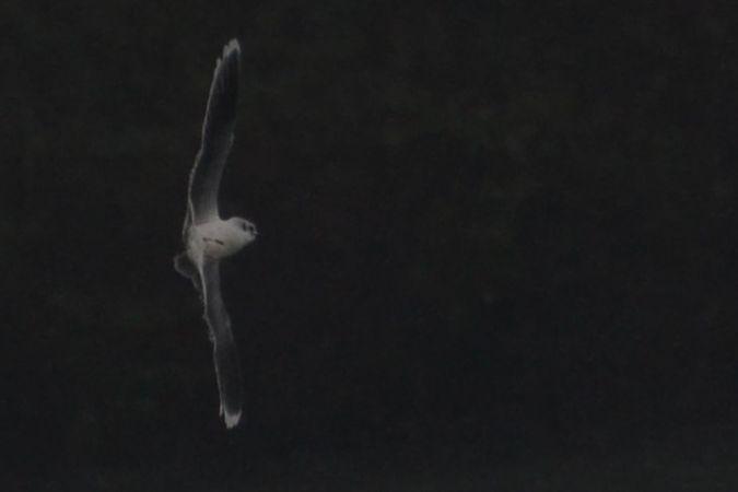Mouette pygmée  - Elouan Pinck