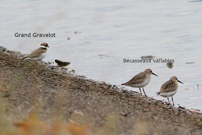 Grand Gravelot  - Vincent Palomares