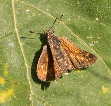 Hesperiidae indéterminé  - Rachel Peillet