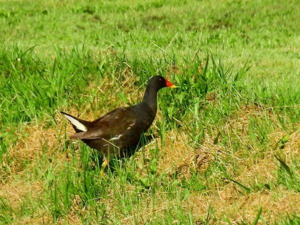 Gallinule poule-d'eau  - Laurent Dufour