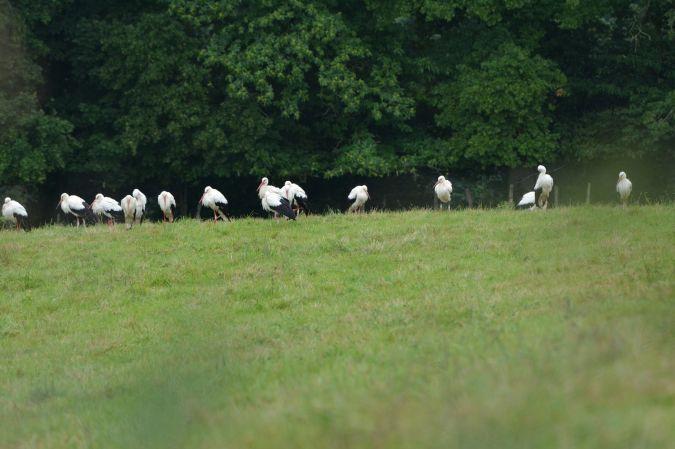 Cigogne blanche  - Ellen Le Roy