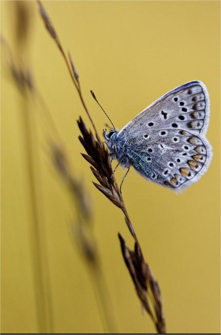 Azuré commun (Argus bleu)