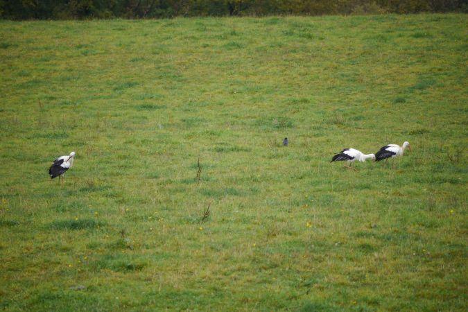 Cigogne blanche  - Raymond Roche