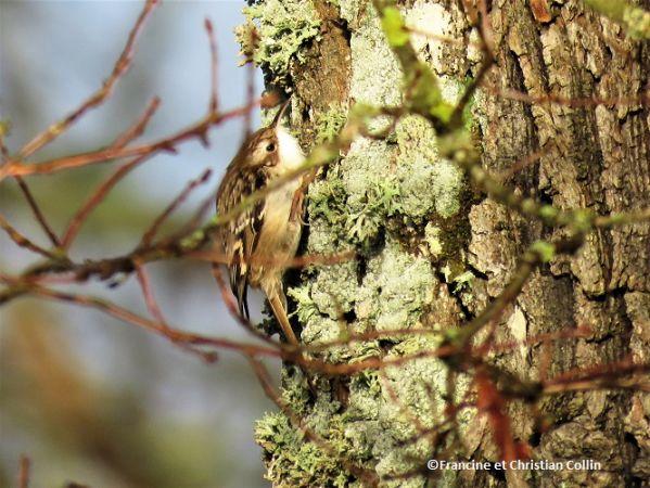 Grimpereau des jardins  - Francine et Christian Collin