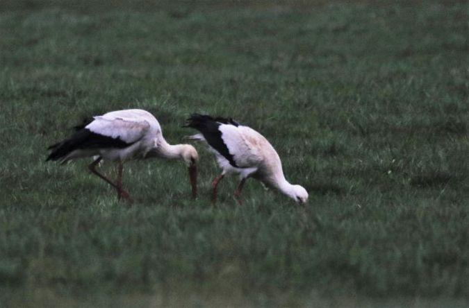 Cigogne blanche  - Bernard Mergnat