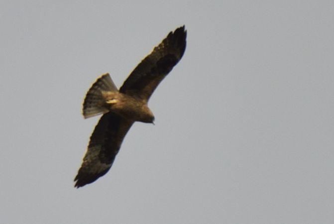 Aigle botté  - Dominique Testaert
