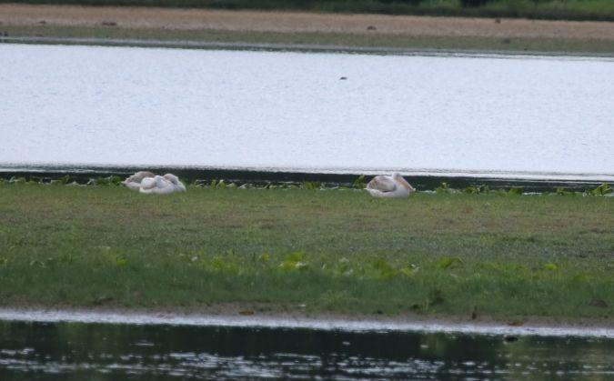 Pélican blanc  - Martine Maurice