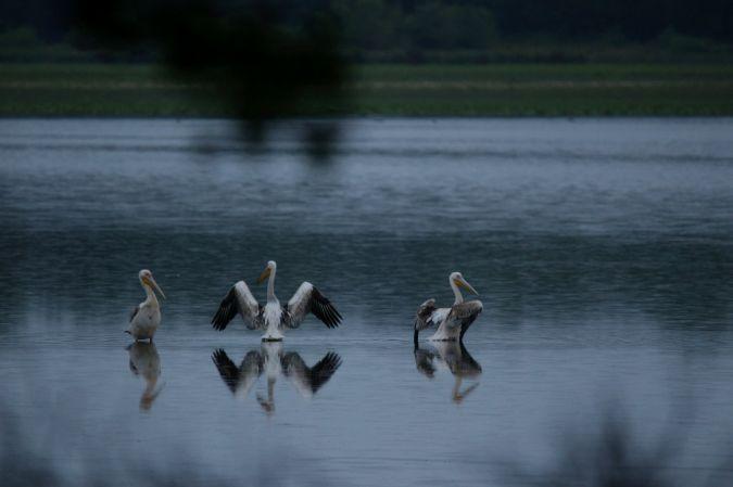 Pélican blanc  - Erwan Fressinaud Mas de Feix