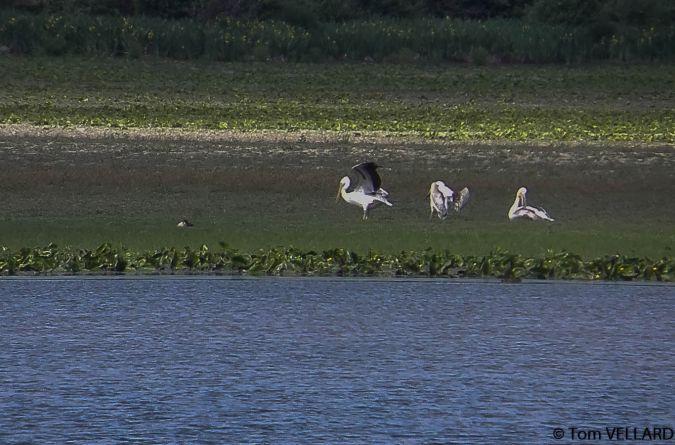 Pélican blanc  - Tom Vellard