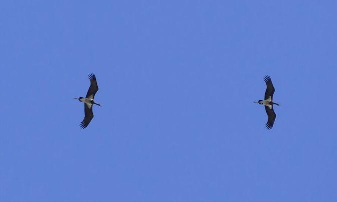 Cigogne noire  - Claire Pradel