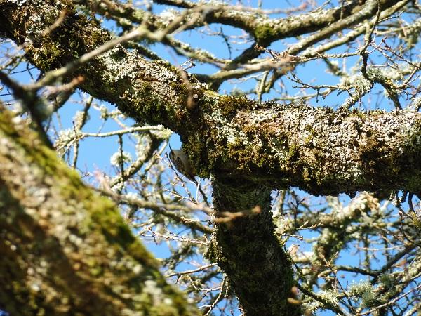 Grimpereau des jardins  - Aimeric Durand