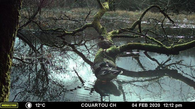 Canard colvert  - Christian Couartou