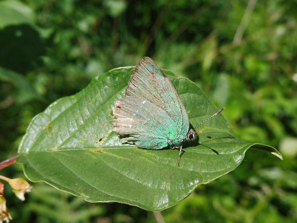 Argus vert  - Aimeric Durand