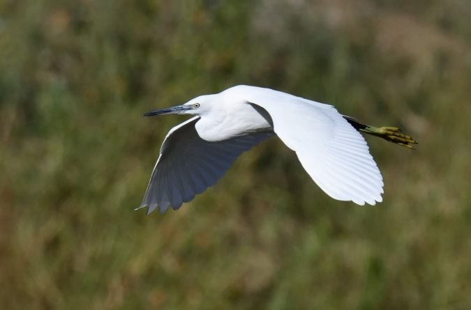 Aigrette garzette  - Dominique Testaert